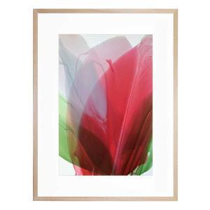 Red Amaryllis - Framed Print