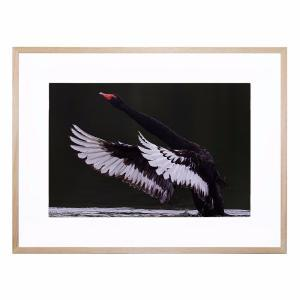 Black Swan - Framed Print